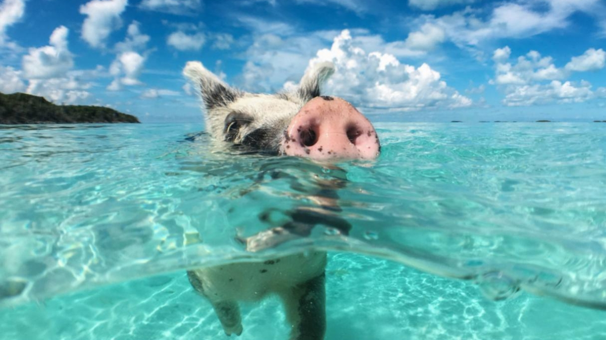 Vegan i prase na pustom ostrvu