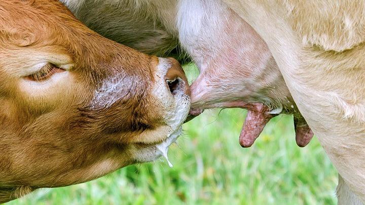 tele sisa mleko