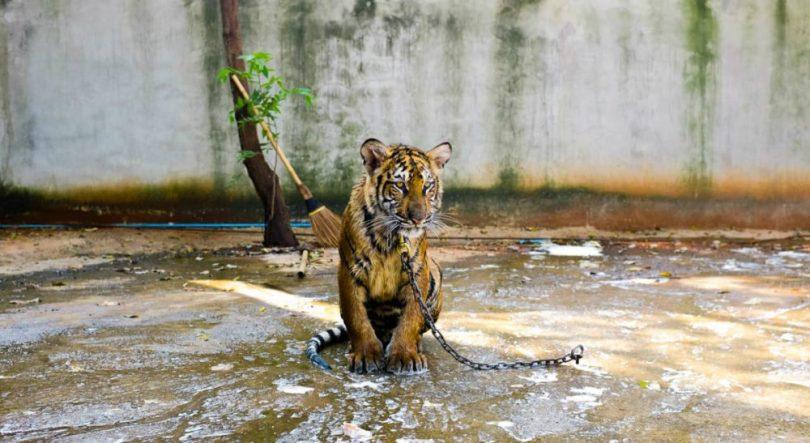 Tigar u zoo vrtu